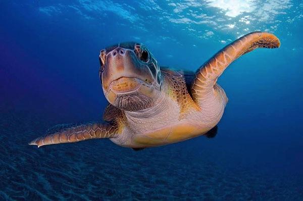 Tortuga marina en el fondo herreño