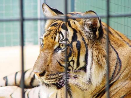 Foto de un tigre en una jaula