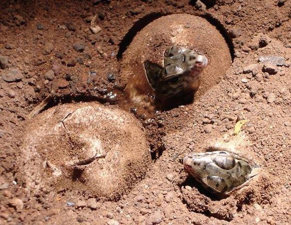 lagarto gigante gomera huevos
